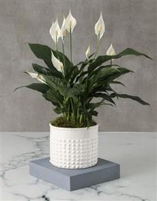 flowers: Opulent Spathiphyllum Pot Plant!