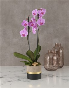 plants: Polished Orchid In Gold Striped Pot!