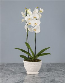 plants: Timeless Elegance Potted Orchid!