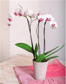 gifts: Phalaenopsis Orchid!