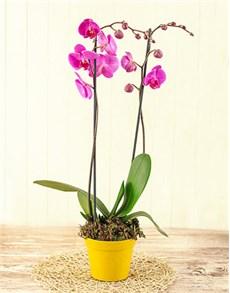 plants: 2 Stem Phalaenopsis Orchid!