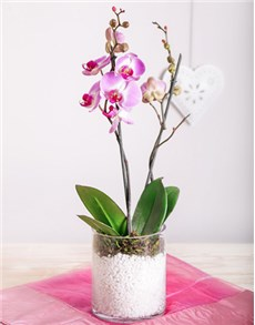 gifts: Singapore Sling Phalaenopsis Orchid!