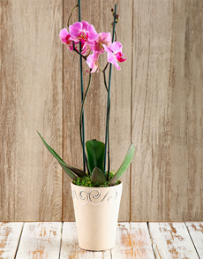 flowers: Potted Phalaenopsis Orchid!