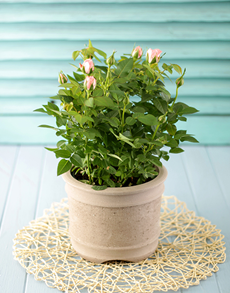 flowers: Potted Rose Plant!