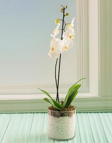 flowers: Phalaenopsis Orchid!