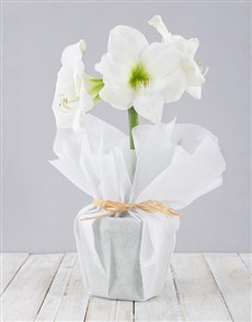 plants: Wrapped White Amaryllis Plant!