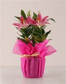 plants: Pretty in Pink Stargazer Plant!