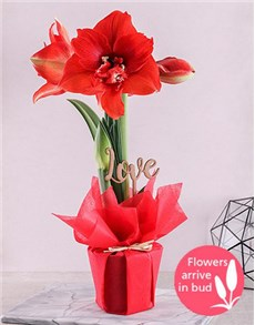 flowers: Red Amaryllis Love Plant!