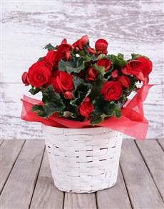 plants: Basket of Red Begonias!