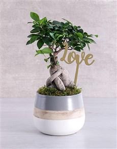 gifts: Ficus Bonsai Tree Pot!