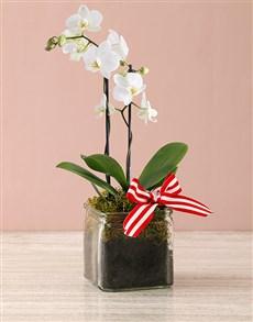 flowers: Midi Phalaenopsis Orchid Vase!