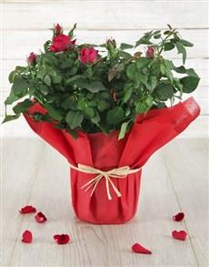 plants: Red Romance Rose Bush!