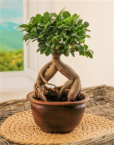 plants: Ficus Ginseng Bonsai In Ceramic Pot!