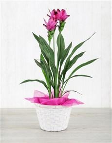 flowers: Purple Curcuma in Basket !