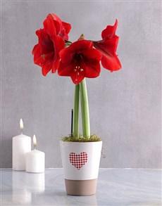 flowers: Valentines Heart Amaryllis Plant!