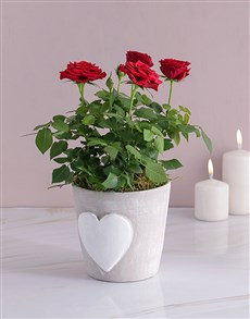 plants: Red Rose Bush In Heart Design Pot!