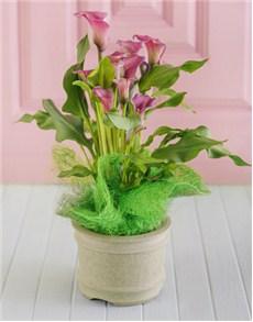 plants: Arum Lily!