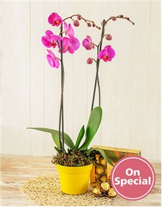 Flowers: Phalaenopsis Orchid with Chocolates!