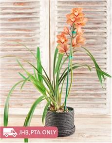 plants: Cymbidium Orchid in Hatbox!
