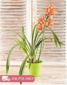 plants: Medium Cymbidium Orchid in Planter!