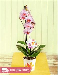 plants: Phalaenopsis Plant!