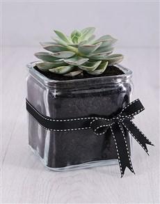 plants: Desert Rose Succulent in a Vase!