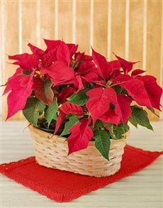 flowers: Double Poinsettia in basket!
