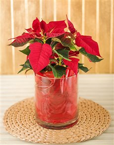 flowers: Poinsettia in Cylinder Vase!