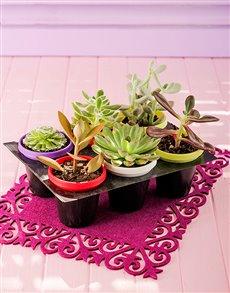 plants: Six Succulent Cacti in Multi Coloured Pots!
