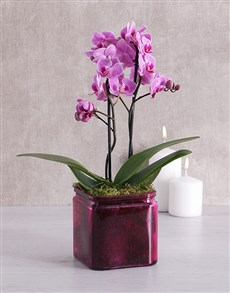 plants: Mini Phalaenopsis Orchid in a Pink Vase!