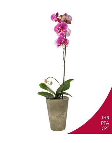 Flowers: Special Phalaenopsis Orchid !