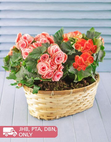 Plants: Begonia Plants in Woven Basket!