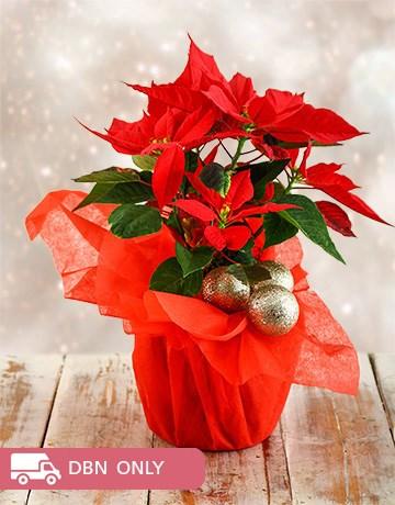 plants: Festive Season Poinsettia!