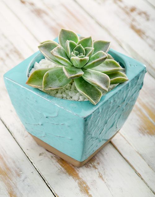 flowers: Succulent in Blue Ceramic Pot!