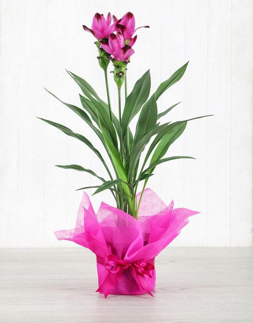 colour: Purple Curcuma Plant in Tissue Paper!