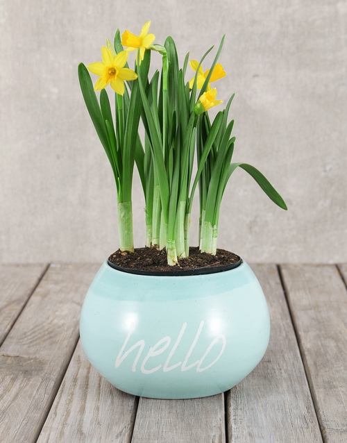 daffodils: Daffodil Plant in Hello Pot!