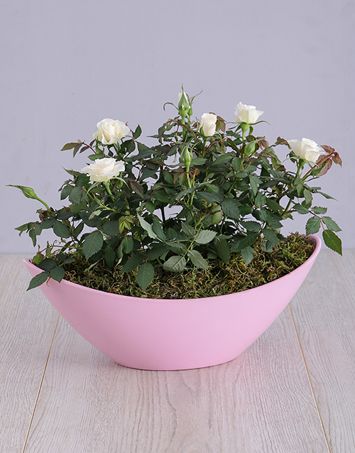 flowers: Mothers Day Rose Bush In Boat Vase!