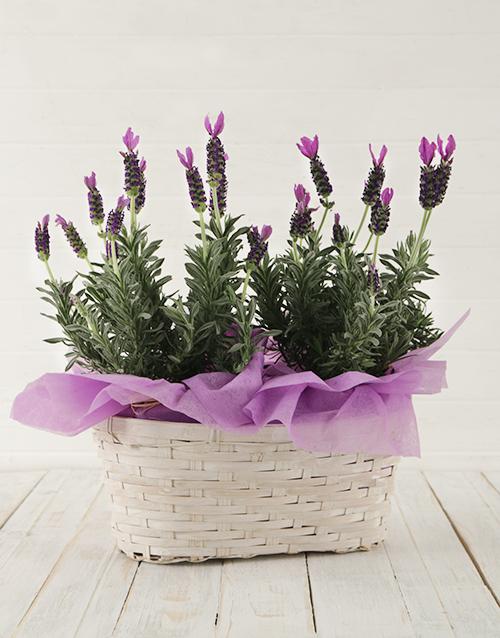 basket: Double Lavender Beauty!