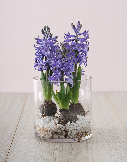 colour: Mothers Day Hyacinths In Cylinder Vase!