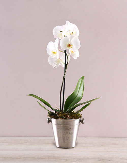 mothers-day: Elegant Orchid in ice Bucket!