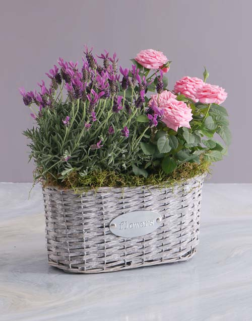 flowers: Mothers Day Rose Bush And Lavender Basket!