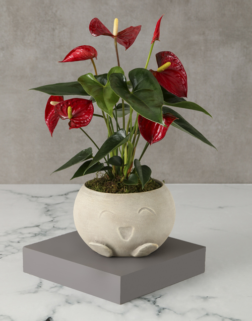 colour: Mothers Day Red Anthurium Mojo Pot!