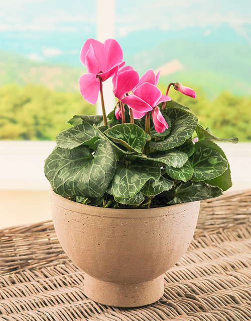 colour: Cyclamen in Plant Pottery!