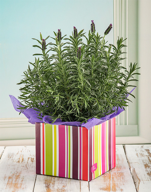 in-a-box: Lavender Striped Box!