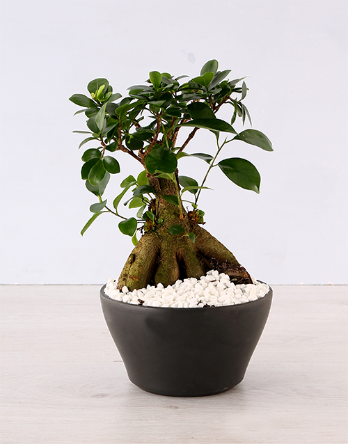 birthday: Ficus Bonsai Tree!