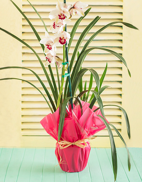 birthday: Pink Cymbidium Orchid in Wrapping!