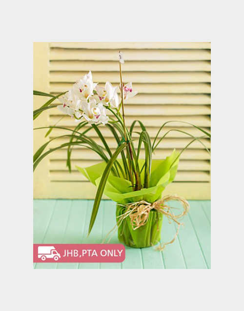 orchids: Cymbidium Orchid Wrapped!