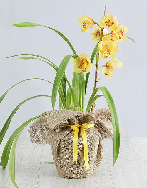 plants: Yellow Cymbidium Orchid in Hessian!