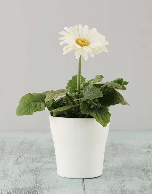 colour: White Mini Gerbera in a White pot!