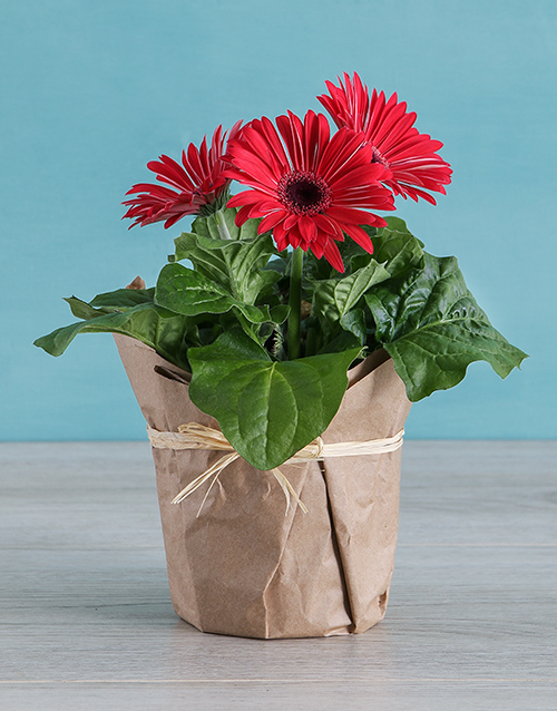 colour: Mini Gerberas in Wrapping!